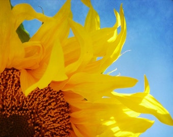 Sunflower Photo with bright blue sky, 8x10 fine art photograph, summer golden flower yellow blue sky