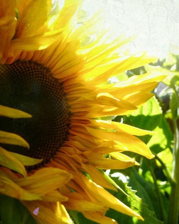 Golden Yellow Autumn Sunshine Sunflower - 8x10 Photograph for home decor, shabby chic cottage home decor, children's decor, kitchen decor