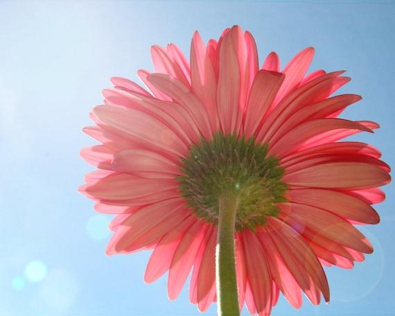 flower photo, pink flower photo, gerber daisy, pink, pretty in pink, blue, lensflare, bokeh, spring, summer, 8x10 photograph, sunshine