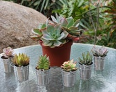 60 Gorgeous Succulents With 60 Adorable Silver Pails...RESERVED for ALLISON