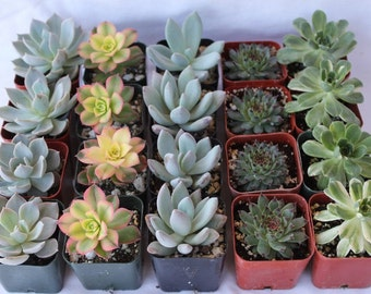 "SAMPLE 5 Beautiful 2"" Assorted Succulent plants Collection plastic pots succulents great for WEDDING FAVOR & gifts or samples+"