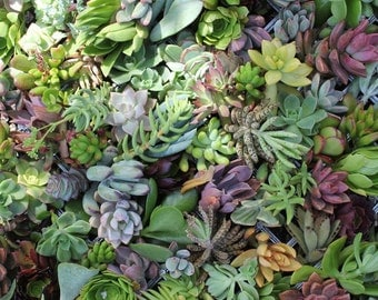 20 BEAUTIFUL Assorted SUCCULENT CUTTINGS perfect for wall gardens wreaths and topiaries Succulents  echeverias