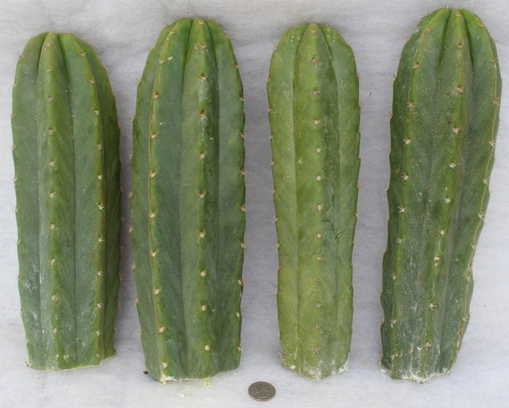 8 (Eight) San Pedro Pachanoi Trichocereus Cactus cuttings approx 12 inches each
