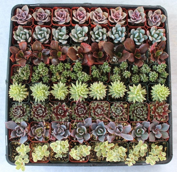 60 very COOL Succulents  Wedding Party Gift Favors rooted and potted table decor favor centerpiece succulent