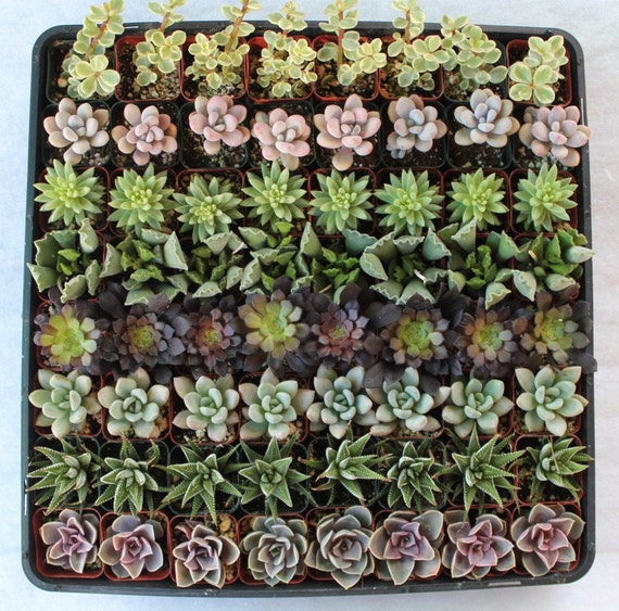 RESERVED 64 Fun & Funky Succulents