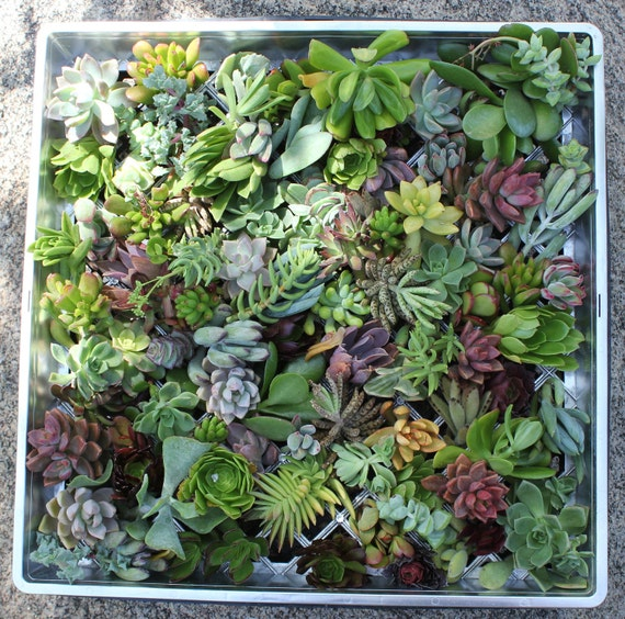 "RESERVED for SONIA100 2"" potted succulents and 30 large ROSETTE only cuts"