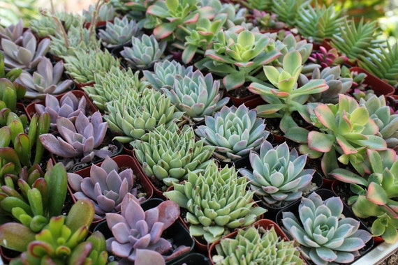 36 ROSETTE ONLY Beautiful Wedding Succulents for Gift Favors in their plastic 2 inch Pots