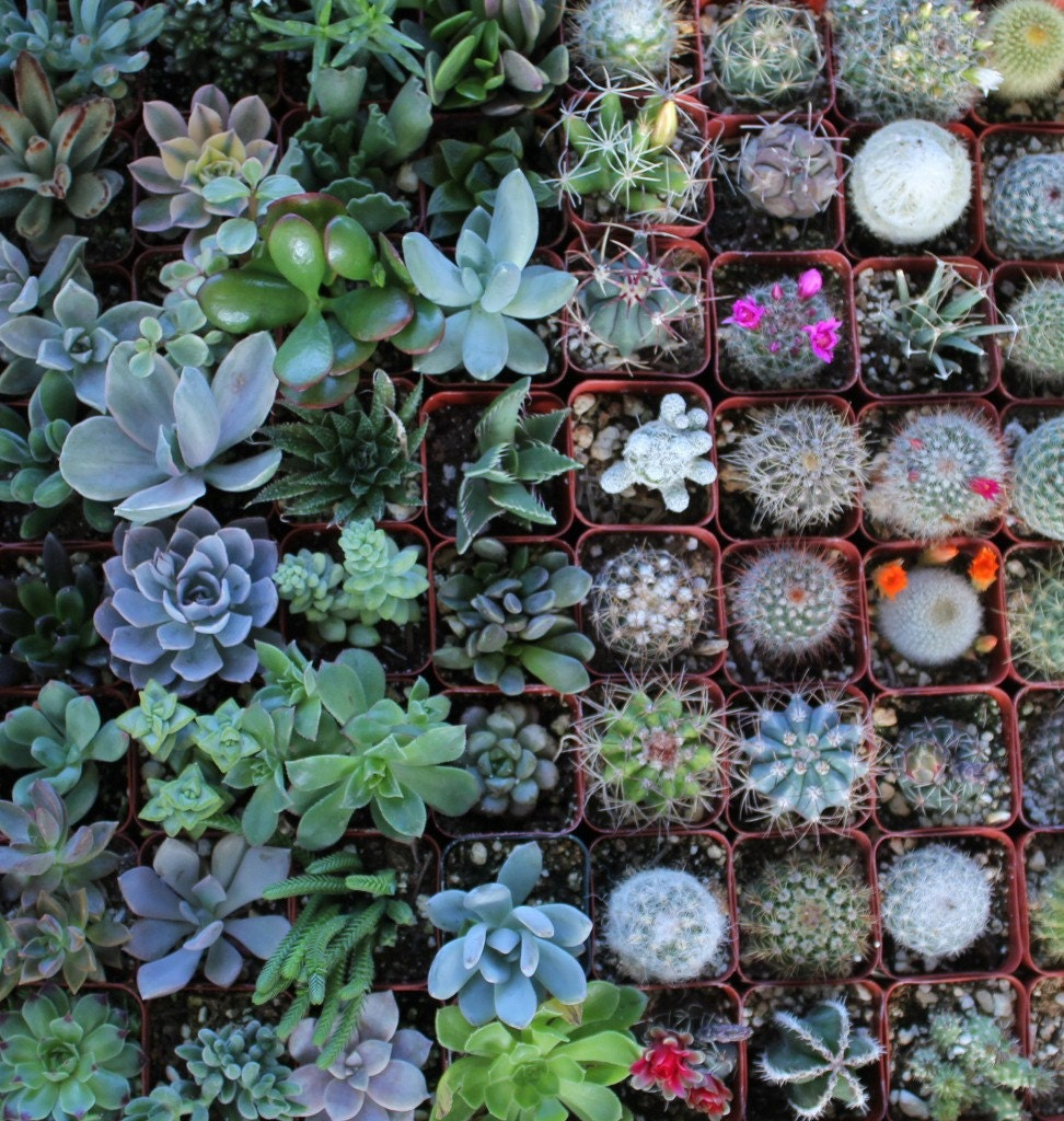 100 Succulent & Cactus Collection Awesome For Party Or