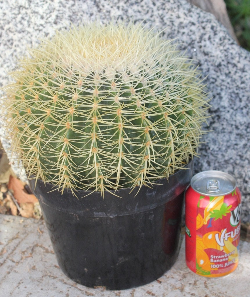 Big and beautiful golden barrel cactus looking by Cactus pots for sale