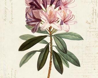 Vintage Botanical Flower Rhododendron on French Ephemera Print 8x10 P41