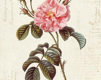 Vintage Botanical Flower Rose on French Ephemera Print 8x10 P44