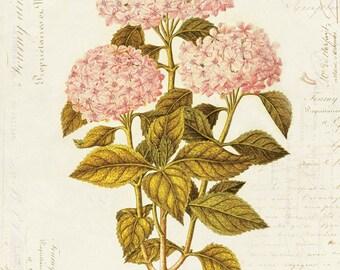Vintage Botanical Flower Hydrangea Hortensia on French Ephemera Print 8x10 P45