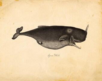 Vintage Sperm Whale on Antique Paper Print 8x10 P70