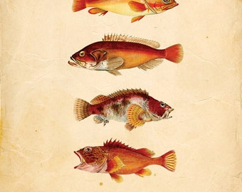 Vintage Japanese Fish Print 8x10 P95