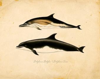 Vintage Dolphins Print 8x10 P96