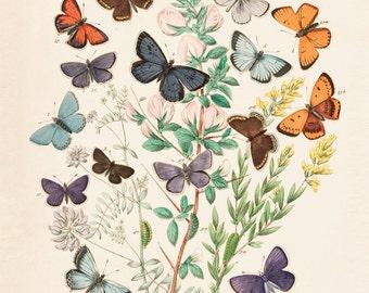 Vintage Butterfies & Flowers Print 8x10 P146