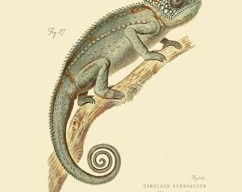 "Vintage Reptile Chameleon  ""Chameleo Verrucosus"" Print 8x10 P175"