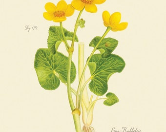"Vintage Botanical Flower ""Caltha Palustris"" Ranunculaceae Print 8x10 P176"