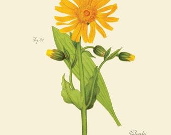 "Vintage Botanical Flower  Mountain Arnica Mountain Tobacco ""Arnica Montana"" Print 8x10 P177"