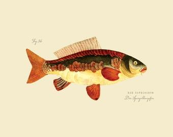 """Vintage Fish """"Der Spiegel Karpfen"""" Print 8x10 P186"""