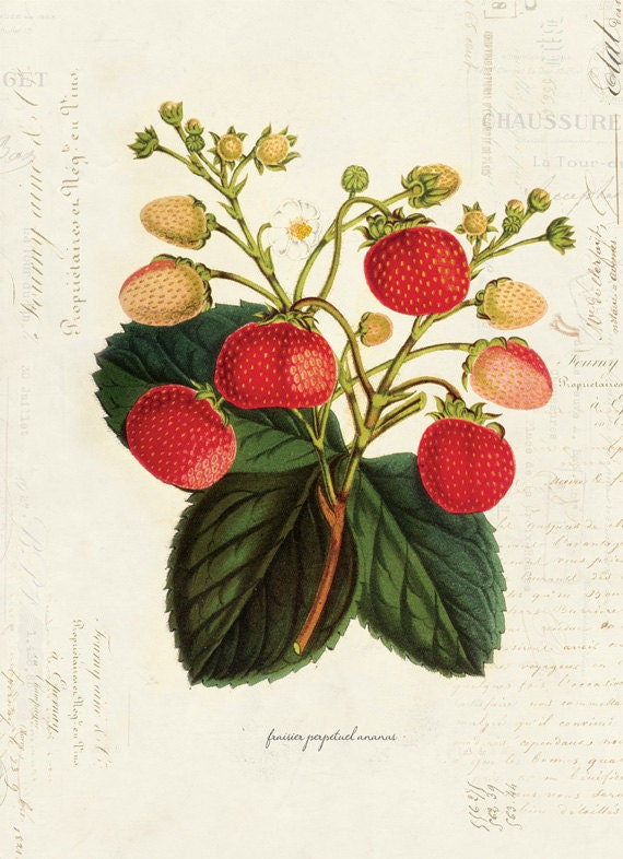 Vintage Botanical Strawberry Plant on French Ephemera Print 8x10 P35