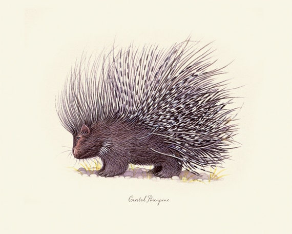 Vintage Porcupine on Antique Ephemera Print 8x10 P51