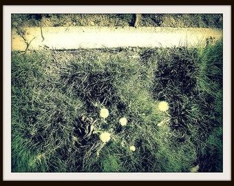 PHOTOGRAPHIC PRINT DANDELIONS