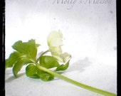 Hellebore No3 - fine art photograph