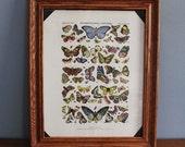 Framed Vintage Butterfly Specimen Print