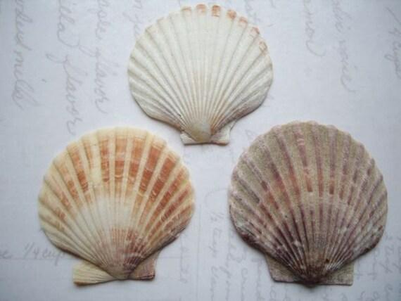 Scottish Mermaid Sea Shells SS20