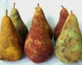 SALE  Pdf Primitive Grungy Pears Fruit  E-Pattern OFG Faap