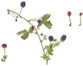 Wild Blackberries, Watercolor Botanical Illustration, Original