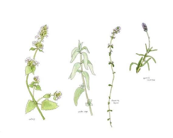 Garden Herbs, Watercolor Botanical Illustration, Original
