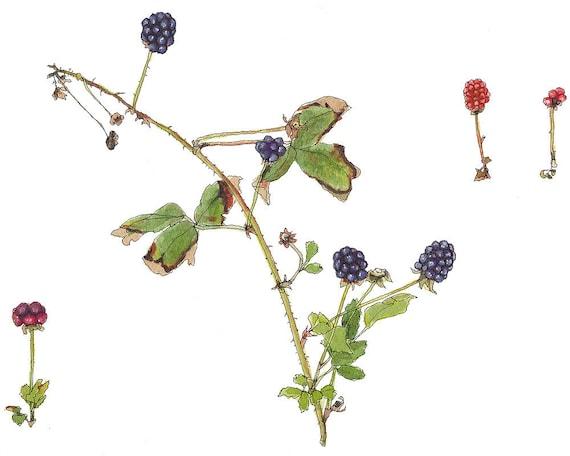 Wild Blackberries, Watercolor Botanical Illustration, Original