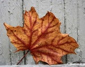 Fall, Red, Maple Leaf, Gray, Orange, Autumn, photograph
