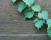 Green Ivy on a Cement Wall, photograph