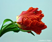 Red, American Tulip, flower, blue, spring, nature, fresh, teal, plant, orange, mint, photograph