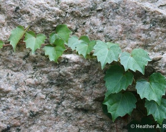 Green Ivy Growing on Granite, photograph