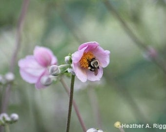 Pink Flower with Bumble Bee, photograph