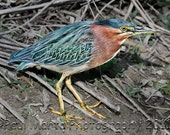 "Green Heron, Photograph, Presented as an 8"" x 12"" Print"