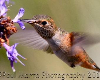 """Allen's Hummingbird in Flight, Photograph, Presented as an 8"""" x 12"""" Print"""