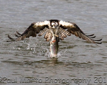 """Osprey with Rainbow Trout, Photograph, Presented as an 8"""" x 12"""" Print"""