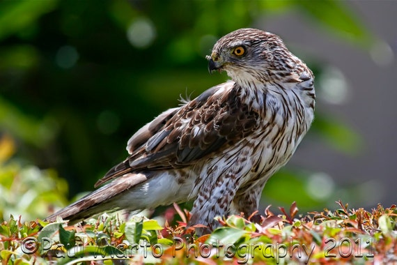 """Coopers Hawk, Photograph, Presented as an 8"""" x 12"""" Print"""