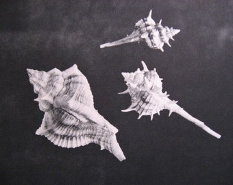 Storewide SALE  Vintage Blk White Seashell Art photographic print