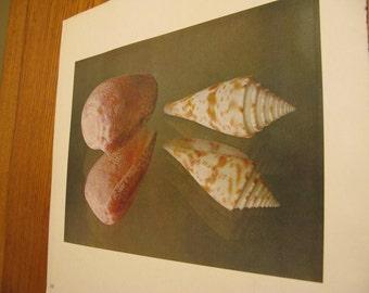 SALE Olive & Soft Aqua Trio Vintage Seashell prints, 1960s, beaut  finish, color-handtipped  bookplates,  matte sheen, rich depth background