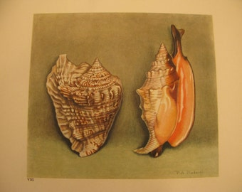 Strombus Plate VIII, 1945 Seashell bookplate, Watercolor, Soft & Detailed muted colors, 15 plates total in shop for pair or grouping