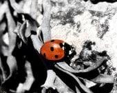 Ladybird (8 x 8) Fine Art Photography print