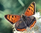 Small Copper Butterfly  Fine Art Photography Download