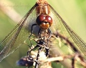 Common Darter Dragonfly Fine Art Photography Download