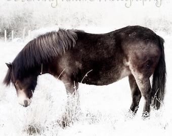Exmoor Pony  Fine Art Photography Download
